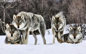 4867171-7503816834-wolf-2